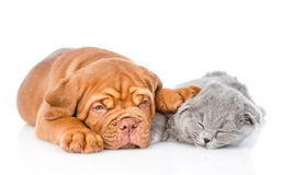 Bordeaux puppy sleep with scottish cat. isolated on white background.  Stock Photography