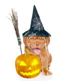 Bordeaux puppy with witches broom stick, pumpkin and hat for halloween. isolated on white background Stock Photos