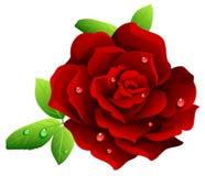 Bordeaux Rose Stock Photo