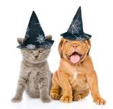 Bordeaux valp och kattunge med hattar för halloween som tillsammans sitter, på vit Arkivbild