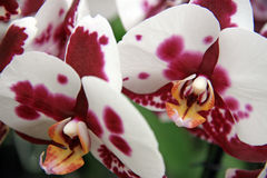 Bordeaux and white orchid Stock Photo