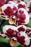 Bordeaux and white orchid Royalty Free Stock Photo