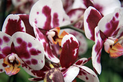 Bordeaux and white orchid Stock Photography