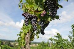 Bordeaux Wineyard at Sunset-Grapes Stock Photos