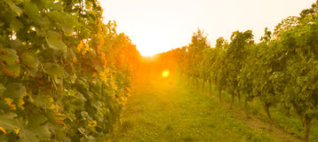 Bordeaux Wineyard at Sunset-Grapes Stock Photography