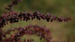 Bordeauxbladeren op een flavovirent achtergrond stock videobeelden