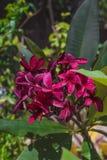 Bordeauxhawaiianer Plumeria Stockbilder
