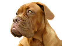 Bordeauxhund Lizenzfreies Stockbild