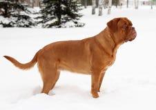 bordeauxhund Arkivfoton
