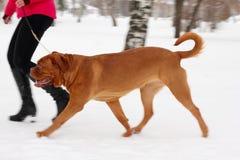 bordeauxhund Royaltyfri Foto