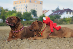 Bordeauxmastiff Stockfotografie