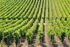 Bordeauxweinberge in südwestlichem Frankreich stockfotografie