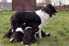 Border collie. Breastfeeding her border collie puppies royalty free stock image