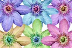 Border. A border made of a montage of the Clematis flower royalty free stock photos