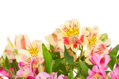 Border of alstroemeria flowers Stock Image