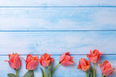 Border from aromatic coral tulips  on blue  painted wooden backg Stock Photos