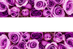 Border of Beautiful fresh sweet purple rose for love romantic va Royalty Free Stock Photography