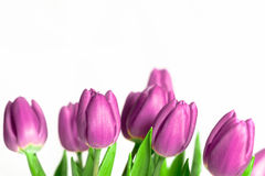 Border of beautiful purple spring tulips Royalty Free Stock Photography