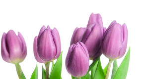 Border of beautiful purple spring tulips Stock Photo