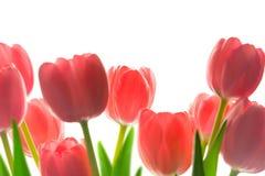 Border of Beautiful Tulips, Royalty Free Stock Photo