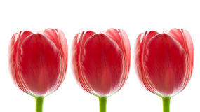 Border of Big Fresh Red Tulips, Stock Photo