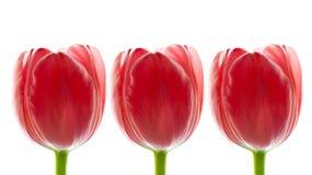 Border of Big Fresh Red Tulips, Stock Photo