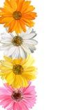 border blom- arkivfoto