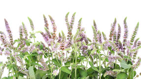 Border from a blossoming  peppermint Stock Photography