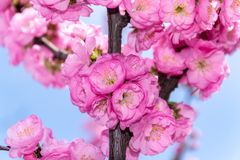 Border of blossoming pink sacura cherry tree branches in garden stock photo