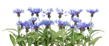 Border from blue cornflowers Stock Images