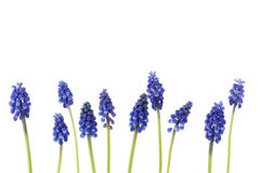 A border of blue grape hyacinths Royalty Free Stock Photos