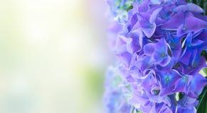 Border of blue hortensia flowers Royalty Free Stock Photo