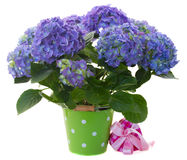 Border of blue hortensia flowers Royalty Free Stock Photo