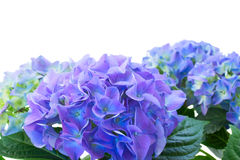 Border of blue hortensia flowers Royalty Free Stock Photos