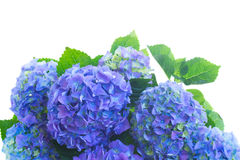 Border of blue hortensia flowers Stock Image