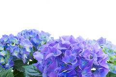 Border of blue hortensia flowers Royalty Free Stock Images