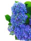 Border of blue hortensia flowers Stock Photos