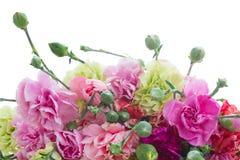 Border of carnation flowers Stock Image