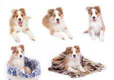 Border coliie pupies isolated Royalty Free Stock Photo