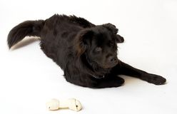 Border Colle Mix and his bone. Royalty Free Stock Images