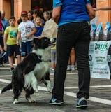 Border collie är en välproportionerad hund med ett harmoniskt och idrotts- utseende arkivbild