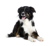 Border Collie (1.5 years) Royalty Free Stock Photo
