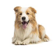 Border Collie, 1.5 years old, lying and panting Stock Photos
