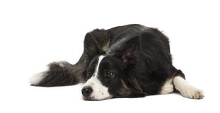 Border Collie, 1 year old Royalty Free Stock Photos