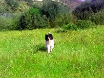 Border collie Imagem de Stock Royalty Free