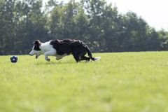 Border collie Imagens de Stock Royalty Free
