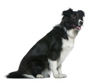 Border Collie, 13 months old, sitting Stock Photos