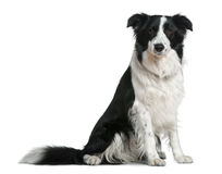 Border Collie, 15 months old, sitting Stock Photography