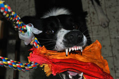 Border collie. Play with toy Royalty Free Stock Photos