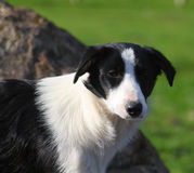 Border Collie. Often used as working sheep dogs in the UK Stock Image